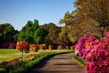 A path winding through a grow of flowering trees.