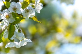 White apple blossoms showing loneliness in forefront of blurry background.